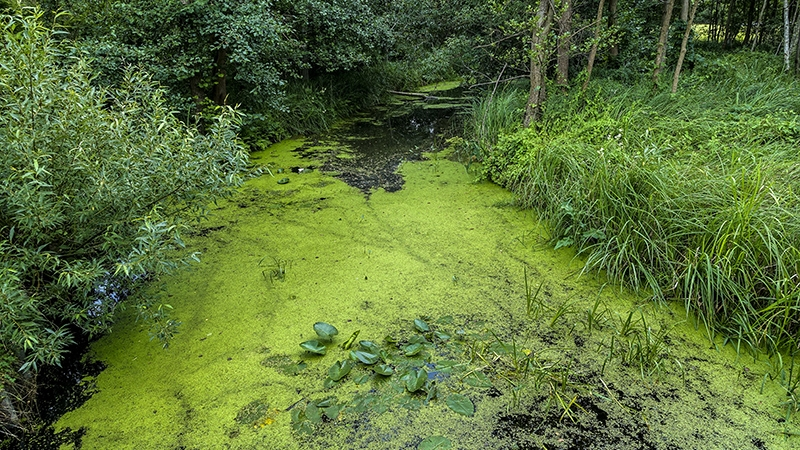 algae blooms caused by nutrient pollution